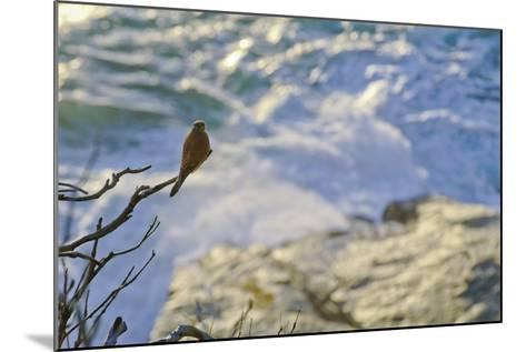 A Raptor on the Coast, Cape Town, South Africa-Keith Ladzinski-Mounted Photographic Print
