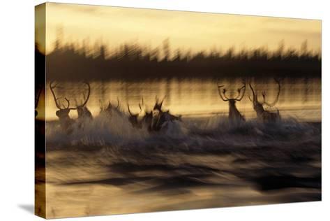 Caribou Herd Running across Kobuk River at Sunset Blurred Arctic Alaska Kobuk Valley-Design Pics Inc-Stretched Canvas Print