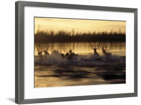 Caribou Herd Running across Kobuk River at Sunset Blurred Arctic Alaska Kobuk Valley-Design Pics Inc-Framed Art Print