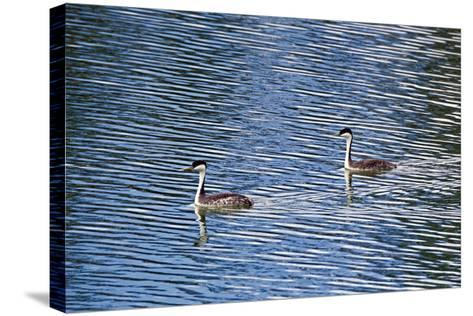 Two Western Grebes, Aechmophorus Occidentalis, Swimming-Robbie George-Stretched Canvas Print
