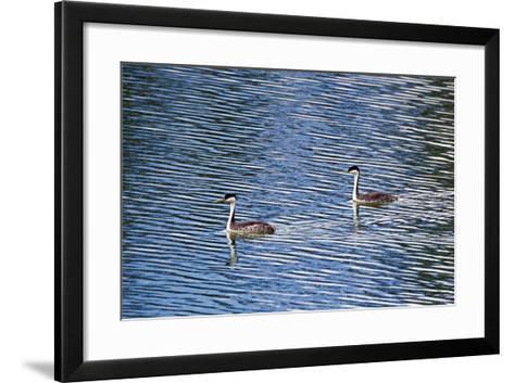 Two Western Grebes, Aechmophorus Occidentalis, Swimming-Robbie George-Framed Art Print