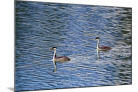 Two Western Grebes, Aechmophorus Occidentalis, Swimming-Robbie George-Mounted Photographic Print