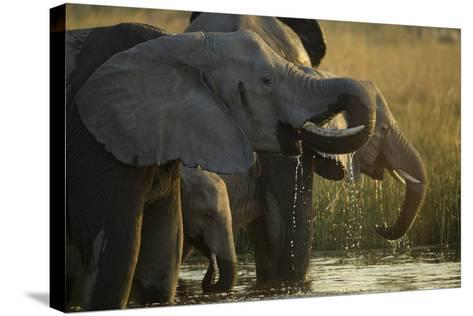 Close Up Elephant Herd Drinking in Spillway in Northern Botswana-Beverly Joubert-Stretched Canvas Print
