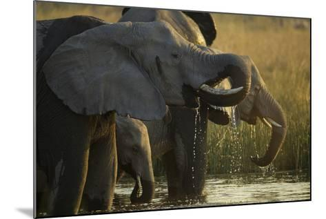 Close Up Elephant Herd Drinking in Spillway in Northern Botswana-Beverly Joubert-Mounted Photographic Print