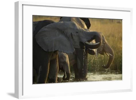 Close Up Elephant Herd Drinking in Spillway in Northern Botswana-Beverly Joubert-Framed Art Print