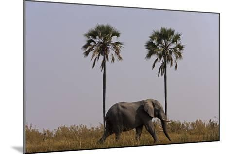 Elephant Walking Centered Between Two Palms in Northern Botswana-Beverly Joubert-Mounted Photographic Print
