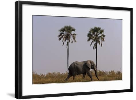Elephant Walking Centered Between Two Palms in Northern Botswana-Beverly Joubert-Framed Art Print