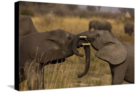 Two Young Elephants Play Sparring in Northern Botswana-Beverly Joubert-Stretched Canvas Print
