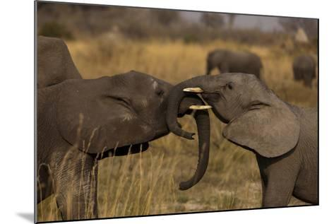 Two Young Elephants Play Sparring in Northern Botswana-Beverly Joubert-Mounted Photographic Print