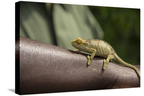 A Chameleon Perched on a Guide's Arm-Michael Melford-Stretched Canvas Print