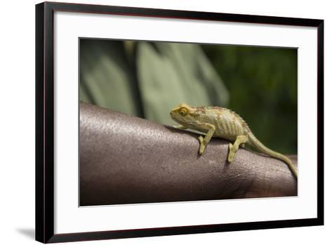 A Chameleon Perched on a Guide's Arm-Michael Melford-Framed Art Print