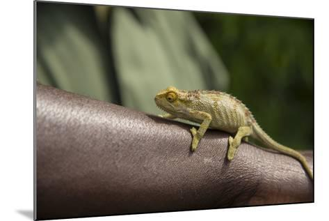 A Chameleon Perched on a Guide's Arm-Michael Melford-Mounted Photographic Print
