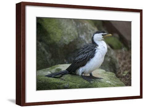 A Little Pied Cormorant, Microcarbo Melanoleucos, at the Taronga Zoo-Joel Sartore-Framed Art Print