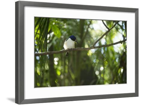 A Forest Kingfisher, Todiramphus Macleayii, at the Taronga Zoo-Joel Sartore-Framed Art Print
