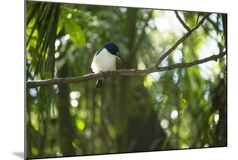 A Forest Kingfisher, Todiramphus Macleayii, at the Taronga Zoo-Joel Sartore-Mounted Photographic Print