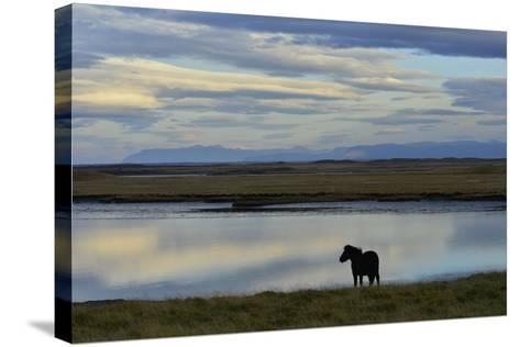 An Icelandic Horse Stands Along the Shore at Low Tide-Raul Touzon-Stretched Canvas Print