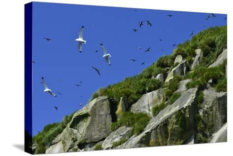Seagulls Fly over Yankicha Island in the Sea of Okhotsk-Raul Touzon-Stretched Canvas Print