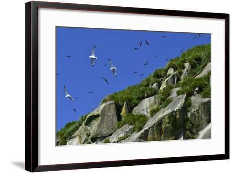 Seagulls Fly over Yankicha Island in the Sea of Okhotsk-Raul Touzon-Framed Art Print
