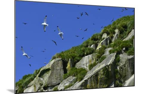 Seagulls Fly over Yankicha Island in the Sea of Okhotsk-Raul Touzon-Mounted Photographic Print