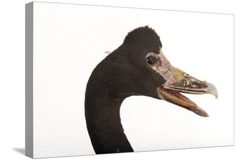 A Magpie Goose, Anseranas Semipalmata, at the Kansas City Zoo-Joel Sartore-Stretched Canvas Print