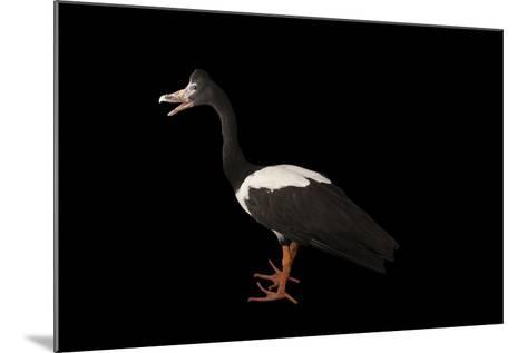 A Magpie Goose, Anseranas Semipalmata, at the Kansas City Zoo-Joel Sartore-Mounted Photographic Print