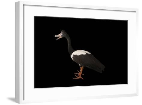 A Magpie Goose, Anseranas Semipalmata, at the Kansas City Zoo-Joel Sartore-Framed Art Print