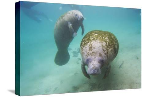 Snorkeling Tourists Watching a Florida Manatee and Her Calf Among a School of Small Fish-Mike Theiss-Stretched Canvas Print