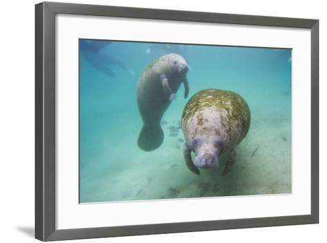 Snorkeling Tourists Watching a Florida Manatee and Her Calf Among a School of Small Fish-Mike Theiss-Framed Art Print