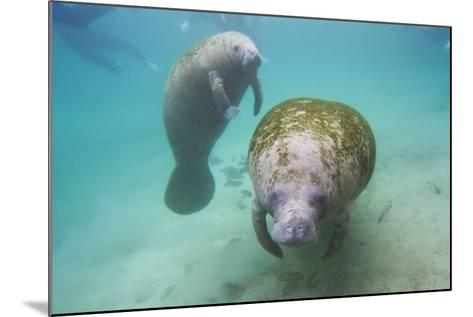 Snorkeling Tourists Watching a Florida Manatee and Her Calf Among a School of Small Fish-Mike Theiss-Mounted Photographic Print