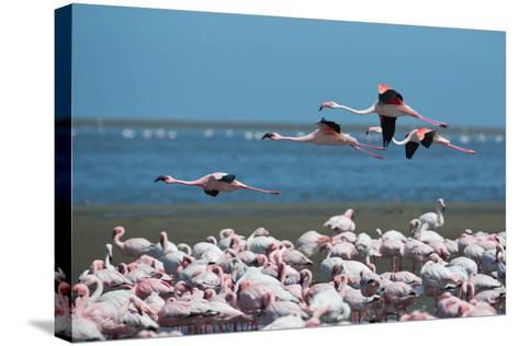 Greater Flamingos in Flight Near Walvis Bay, Namibia-Alex Saberi-Stretched Canvas Print
