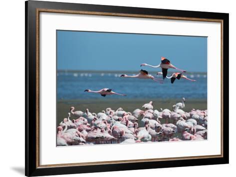 Greater Flamingos in Flight Near Walvis Bay, Namibia-Alex Saberi-Framed Art Print
