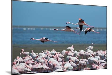 Greater Flamingos in Flight Near Walvis Bay, Namibia-Alex Saberi-Mounted Photographic Print