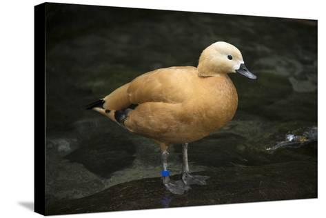 A Ruddy Shelduck, Tadorna Ferruginea, at the Taronga Zoo-Joel Sartore-Stretched Canvas Print