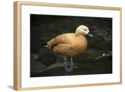 A Ruddy Shelduck, Tadorna Ferruginea, at the Taronga Zoo-Joel Sartore-Framed Art Print
