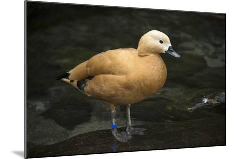 A Ruddy Shelduck, Tadorna Ferruginea, at the Taronga Zoo-Joel Sartore-Mounted Photographic Print