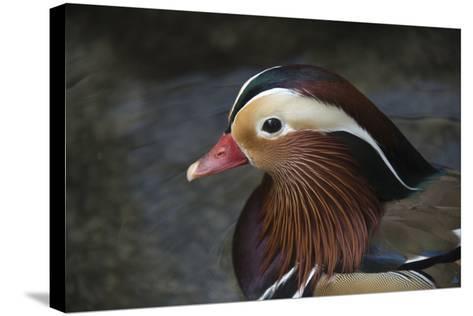 A Mandarin Duck, Aix Galericulata, at the Taronga Zoo-Joel Sartore-Stretched Canvas Print