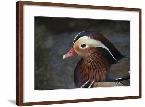 A Mandarin Duck, Aix Galericulata, at the Taronga Zoo-Joel Sartore-Framed Art Print
