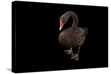 A Black Swan, Cygnus Atratus, at the Kansas City Zoo-Joel Sartore-Stretched Canvas Print