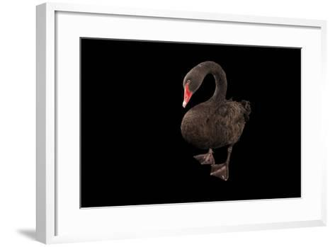 A Black Swan, Cygnus Atratus, at the Kansas City Zoo-Joel Sartore-Framed Art Print