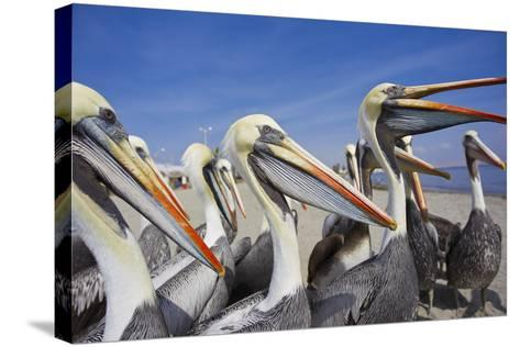 A Group of Peruvian Pelicans Waiting to Be Fed on a Beach-Mike Theiss-Stretched Canvas Print