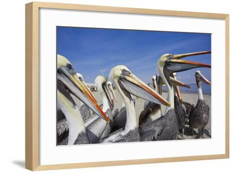A Group of Peruvian Pelicans Waiting to Be Fed on a Beach-Mike Theiss-Framed Art Print