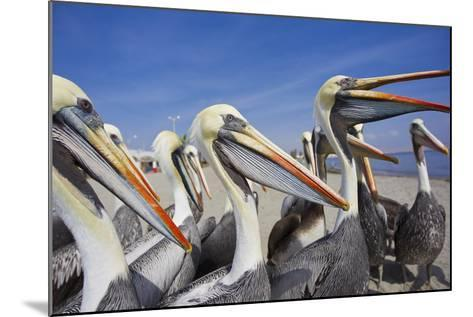A Group of Peruvian Pelicans Waiting to Be Fed on a Beach-Mike Theiss-Mounted Photographic Print
