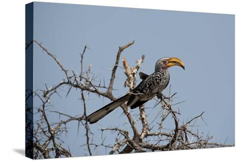 A Southern Yellow-Billed Hornbill, Tockus Leucomelas, Perching in a Thorny Tree-Alex Saberi-Stretched Canvas Print