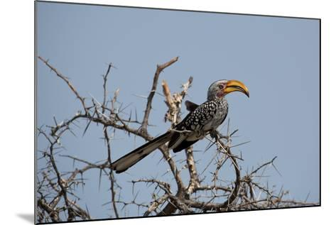A Southern Yellow-Billed Hornbill, Tockus Leucomelas, Perching in a Thorny Tree-Alex Saberi-Mounted Photographic Print