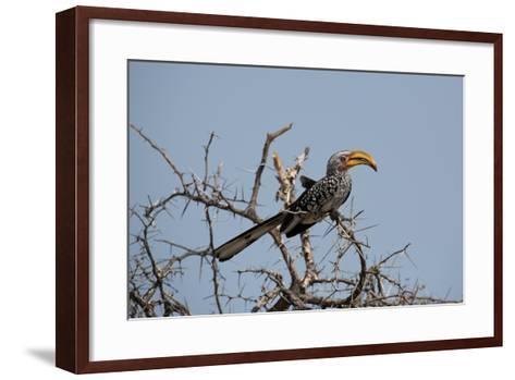 A Southern Yellow-Billed Hornbill, Tockus Leucomelas, Perching in a Thorny Tree-Alex Saberi-Framed Art Print