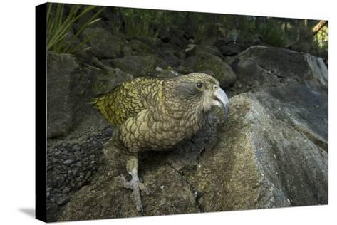 A Kea, Nestor Notabilis, at the Auckland Zoo-Joel Sartore-Stretched Canvas Print