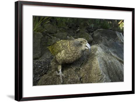 A Kea, Nestor Notabilis, at the Auckland Zoo-Joel Sartore-Framed Art Print
