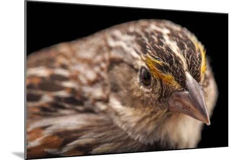 A Florida Grasshopper Sparrow, Ammodramus Savannarum Floridanus-Joel Sartore-Mounted Photographic Print
