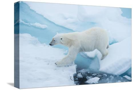 A Polar Bear Steps from One Chunk of Drift Ice to Another-Michael Melford-Stretched Canvas Print