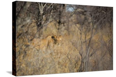 A Lioness, Panthera Leo, Walking Through Tall Grass under Trees at Sunrise-Alex Saberi-Stretched Canvas Print